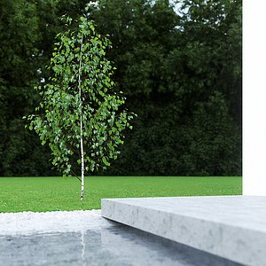 betula pendula birch 2 model