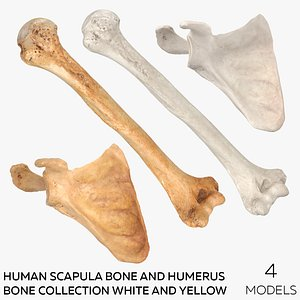 Human Scapula Bone and Humerus Bone Collection White and Yellow -  4 models model