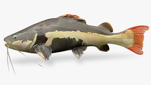 3D Red tailed catfish6 model