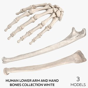 Human Lower Arm and Hand Bones Collection White -  3 models 3D model