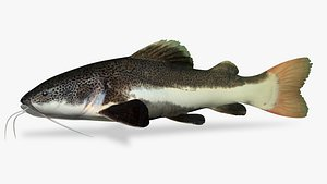 Red tailed catfish 4 3D
