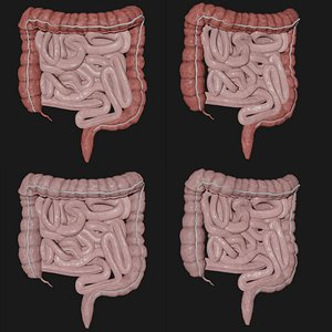 3D model intestine science organ