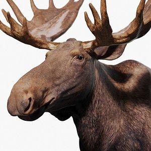 3D model Moose Zbrush