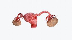 uterus and ovaries 3D model