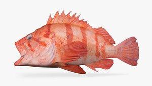 tiger rockfish pink 3D model