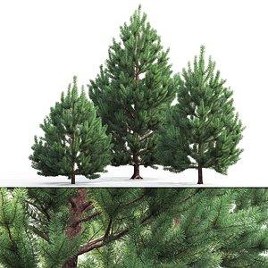 3D model pines sylvestris
