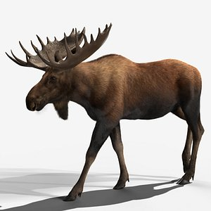 male moose rigging animation 3D model