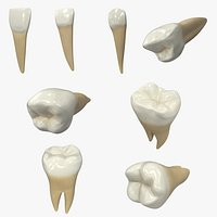 Human Lower Teeths Collection