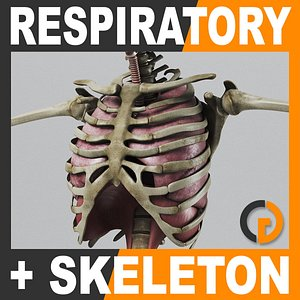 3d human respiratory skeleton - model