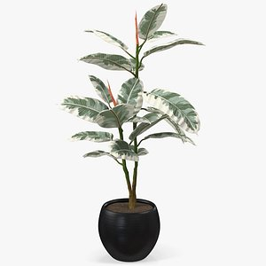 rubber tree variegata pot 3D