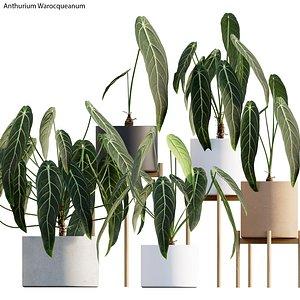 3D Anthurium Warocqueanum
