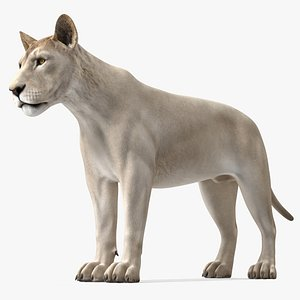 Young White Lion Rigged model