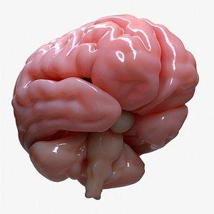 3D model brain human anatomy
