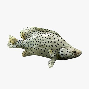 3D Humpback Grouper