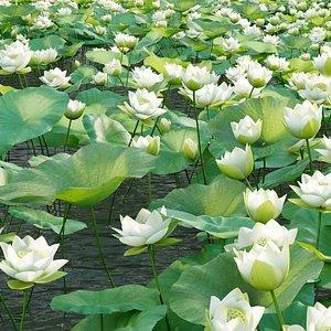 3D Nelumbo lutea - lotus