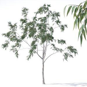 eucalyptus pauciflora tree 3D