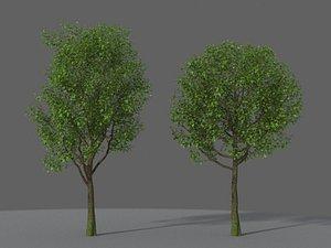 XfrogPlants Indian Laurel - Ficus Nitida model