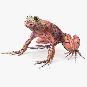 Frog Anatomy Complete Body 3D model