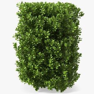laurus nobilis bush 3D