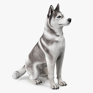 3D Sitting Siberian Husky Gray and White