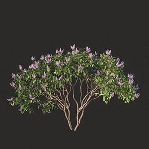 XfrogPlants Lilac - Syringa Vulgaris 3D