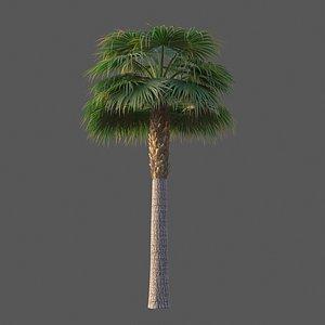 XfrogPlants Cabbage Palm - Sabal Palmetto model