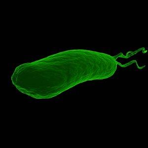 3D model Helicobacter pylori or H. pylori