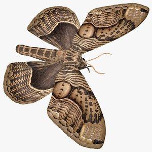 3D Owl Moth model