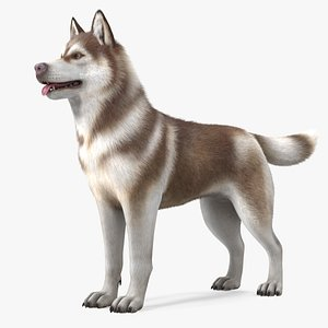 3D Husky Dog Copper and White Fur Rigged