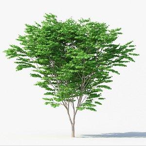 Acer Palmatum No 1 model