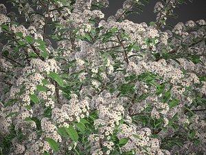 3D XfrogPlants Snowmound - Spiraea Nipponica