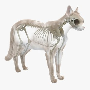 3D cat body skeleton static model