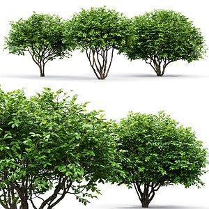 3D bush euonymus