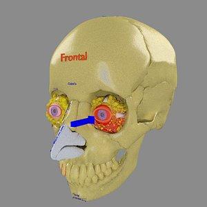eye blow out model