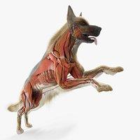Full Dog Anatomy Maya Animated