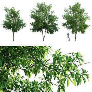 Michelia alba 3D model