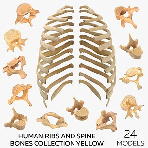 3D Human Ribs and Spine Bones Collection Yellow - 24 models model