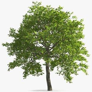 walnut tree ripe nuts 3D model