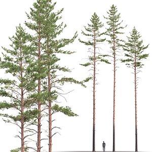 3D pines sylvestris trees