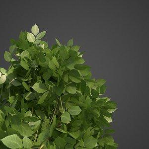 3D carpinus betulus model