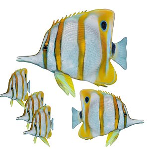 3D Fully rigged low poly butterfly fish