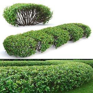 3D hedge cotoneaster lucidus