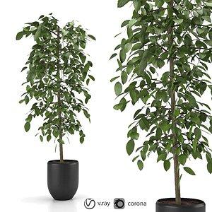indoor and outdoor ficus benjamina plant 8 model