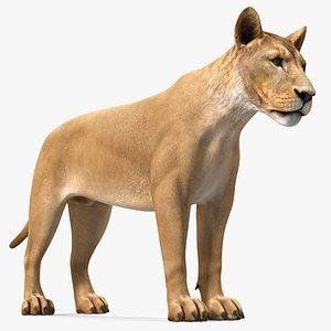 3D model Young Lion