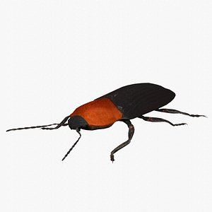 3D cardiophorus gramineus beetle