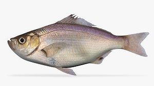 3D Spotfin Surfperch