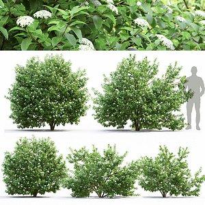 Cornus Alba flowering 01 3D