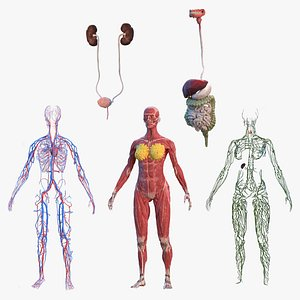 female body anatomy 3D model