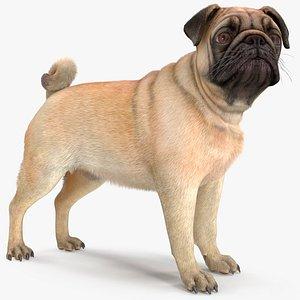 3D model pug dog fur