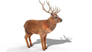 Fur Red stag Deer NO RIG 3D